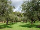Оливковая роща